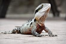 Eastern Water Dragon, Queensla...