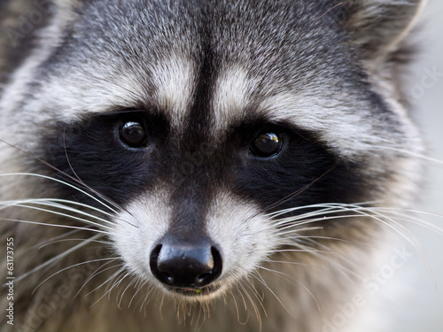 Potrait of a common raccoon Canvas Print