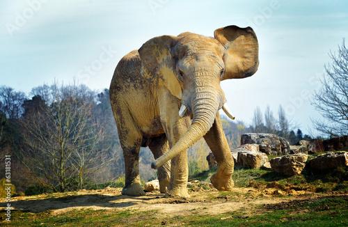 Obrazy na płótnie Canvas Elephant de savane (mâle)