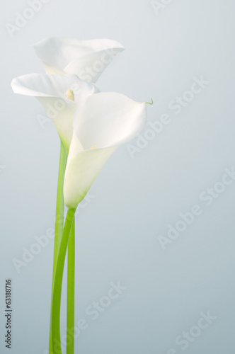 Photo Calla lilies
