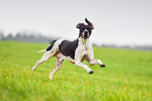 Working English Pointer Hunting