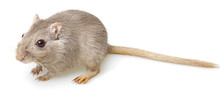 Gerbil Isolated On White Background
