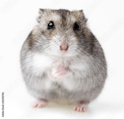 hamster isolated on white background Canvas Print