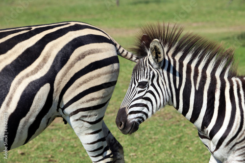 Poster de jardin Zoo Zebras