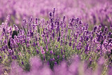 Purple lavender flowers in the field - 63215956
