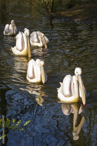 Aluminium Prints Ostrich zwemmende pelikanen