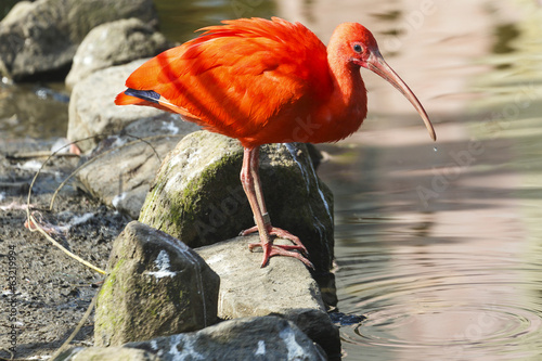 Photo Stands Parrot Rode Ibis