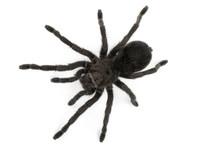 Black Spider- Grammostola Pulc...