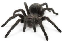 Tarantula Spider- Grammostola ...