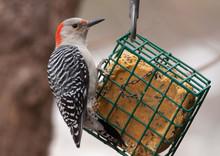 Red-belllied Woodpecker