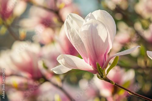 Papiers peints Magnolia magnolia flowers on a blury background
