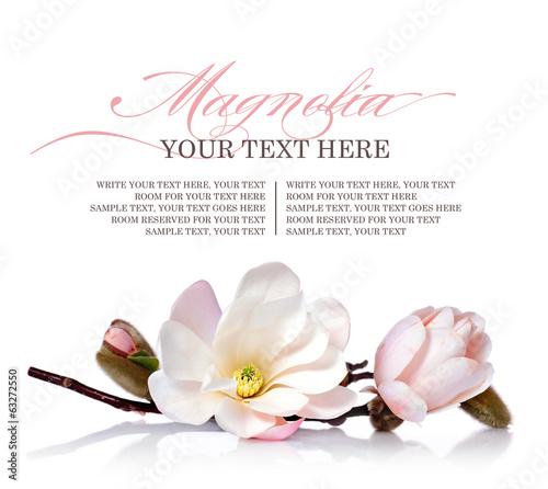 Spoed Foto op Canvas Magnolia Magnolia flower on a white background