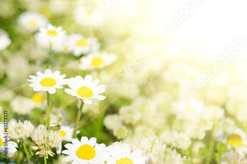 In de dag Bloemen Wild camomile flowers