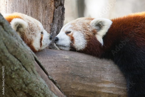 Fototapeta Red or lesser pandas (Ailurus fulgens) are resting on a tree
