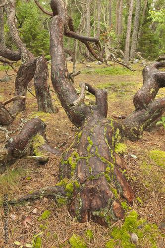Valokuva  Windswept pine tree
