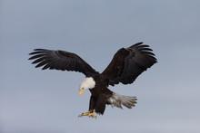 Bald Eagle Landing On Tree Snag