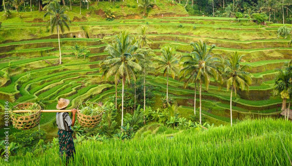 Fototapeta Bali, rizière en terrasse