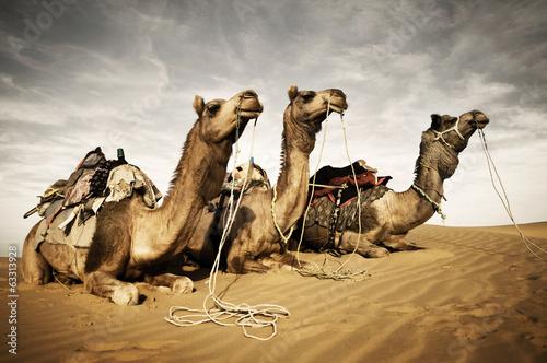 Keuken foto achterwand Kameel Three Camels Reating in the Desert