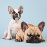 Fototapeta Dogs - French bulldogs together on blue background