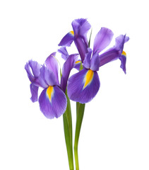 Two Irises isolated on a white background.