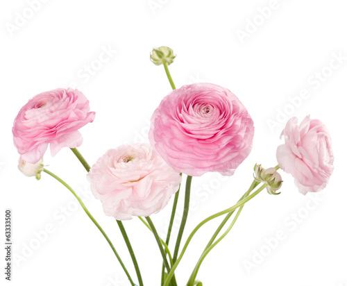 Obraz na płótnie Light pink flowers isolated on white. Ranunculus