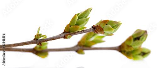 Cuadros en Lienzo Leaf bud isolated on white