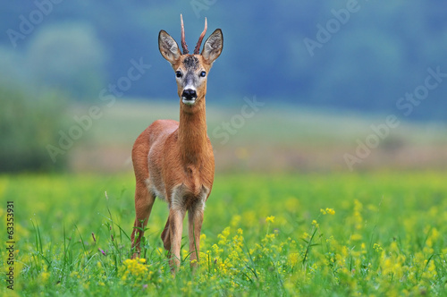 Foto op Canvas Ree Roe deer