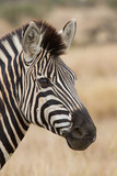 Fototapeta Zebra - Zebra portrait in nature lovely detail soft light