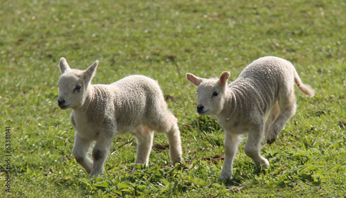 Two Newly Born Lambs Running in a Meadow  - Buy this stock