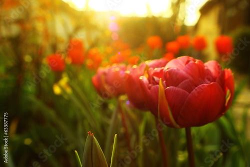 Photo  Colorful Tulip
