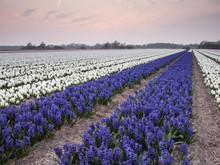 Rows Of Hyacinths In Bulb Field