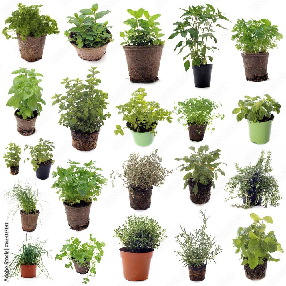 Fototapety, obrazy: aromatic herbs