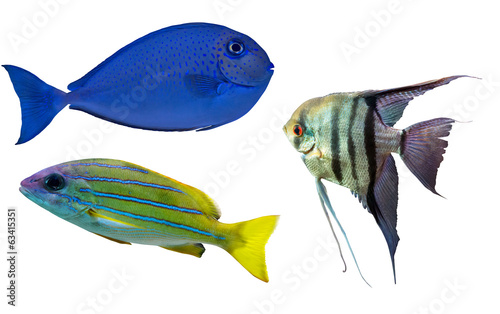 Poster Sous-marin three coral fishes isolated on white