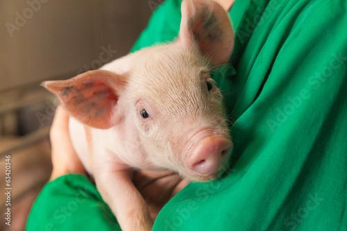 Fotografía piglet in a farmer harms