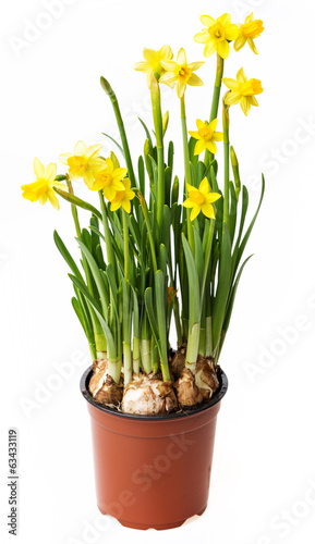 Deurstickers Narcis daffodils in a flower pot