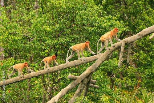 Staande foto Aap Proboscis monkeys on a tree, Borneo, Malaysia
