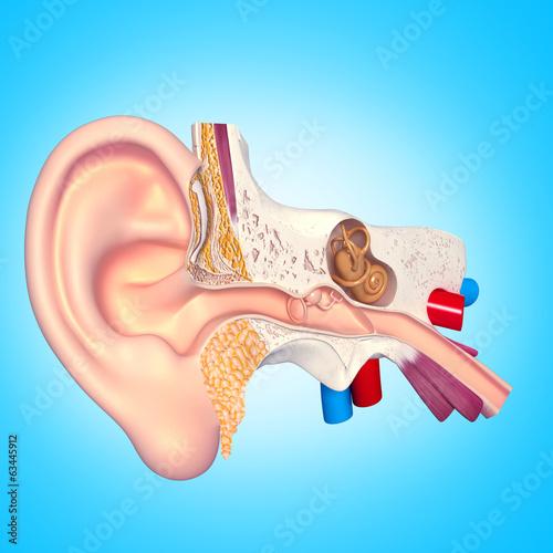 anatomia-ludzkiego-ucha