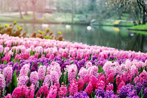 Poster Rose clair / pale Pink hyacinths in Keukenhof Gardens, Netherlands