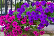 Basket Of Hot Pink And Violet Petunias