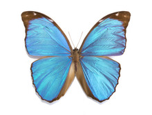 Tropical Butterfly Morpho Menelaus