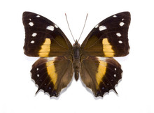 Tropical Butterfly Baeotus Deucalion
