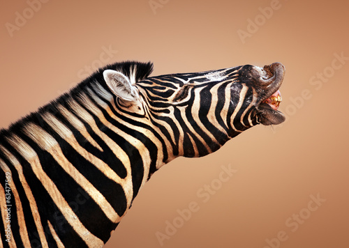 Canvas Prints Zebra zebra calling