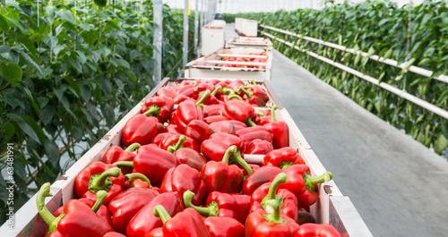 Fotografía  Red peppers in harvesting trolleys