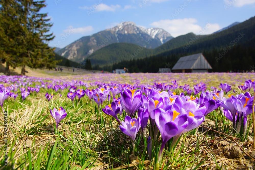 Fototapety, obrazy: Crocuses in Chocholowska valley, Tatra Mountains, Poland