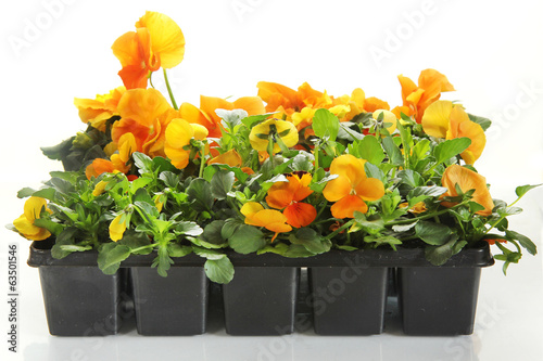 Papiers peints Pansies pansy flowers in a rows on white background