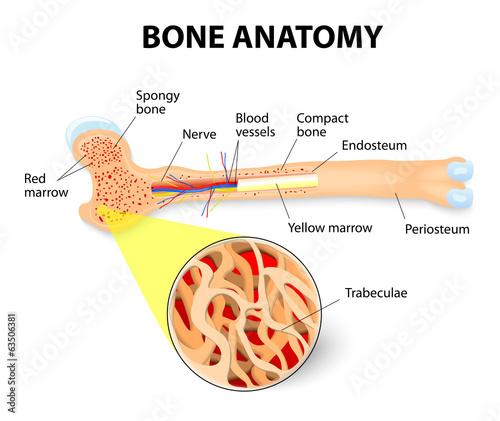 Fotografía  bone anatomy