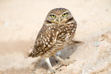 Serious Looking Burrowing Owl