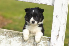 Border Collie Puppy With Paws ...