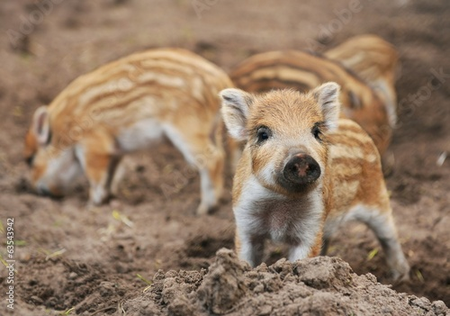Leinwand Poster Young wild boar (Sus scrofa specie) in striped fur