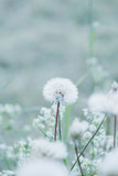 Tiny summer dandelion with pastel colors - 63561375